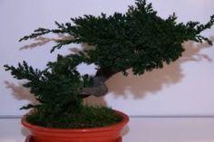 Как сделать искусственный Бонсай. Бонсай – это карликовое дерево, которое символизирует единение человека с природой. Пришло оно к нам из Японии. Растет такое деревце несколько лет и ухо за ним нужен особый. Но, можно не ждать много лет, когда вырастит настоящий Бонсай, а сделать искусственный, из стабилизированного можжевельника.