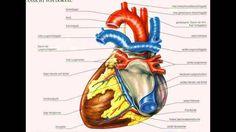 herzanatomie herzanatomie Zentralantrieb ist der Handel mit verschiedenen Gruppen von Tieren.herzanatomie In seiner einfachsten Form z. B. In Anneliden die einen geschlossenen Kreislauf aufweist dass große Teile des Systems kontraktilen sind.herzanatomie In Arthropoden mit offenem Kreislauf -System ist das Herz ein Muskel-Röhre die als doppelt wirkende Pumpe wirkt.
