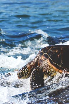 Check out our website to see how you can help us donate to Sea Turtle Research!  devotedtotheocean.com