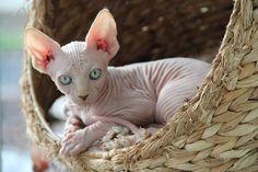 Hairless Sphynx kitten