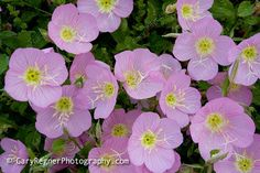 Texas Wildflower Identification Index : Texas Wildflower Pictures and Identification by Gary Regner Photography