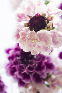 Scabiosa by mellow_stuff, via Flickr