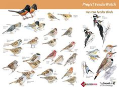 Free identification poster downloads of North American, birds by region
