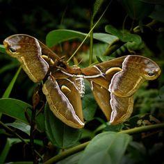 Одна из самых крупных бабочек в мире - Павлиноглазка Атлас