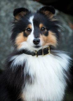 The Shetland Sheepdog originated in the and its ancestors were from Scotland, which worked as herding dogs. These early dogs were fairly Cute Dogs And Puppies, Pet Dogs, Dog Cat, I Love Dogs, Gsd Dog, Doggies, Beautiful Dogs, Animals Beautiful, Cute Baby Animals