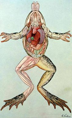 Anatomy of the frog from 'Brehm's Animal Life' by Dr Otto zur...