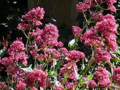 Centranthus ruber Coccineus - mavuň červená Flora, Plants, Plant, Planets