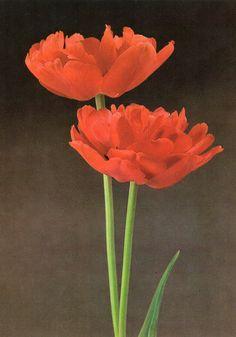Tulip «Miranda»