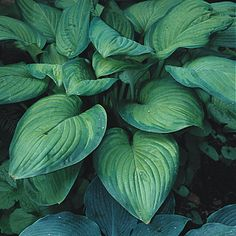 Try filling a vase with hosta's elegant leaves and setting it on the hall table.  Photographer: Joan de Grey