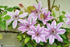 Clematis on pinterest clematis clematis montana and for Comment entretenir une clematite