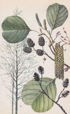 Vintage Tree Print, Common Alder