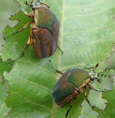 """In the summertime children would select big strong-looking junebugs and tie a string on their hind legs, then throw them in the air and watch it """"june"""" or fly frantically in an arc making a buzzing sound. That is where they get their name junebug."""