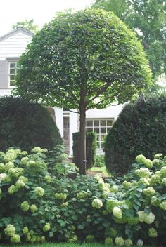 Annabelle hydrangeas in front of taxus viridis hedges and linden trees