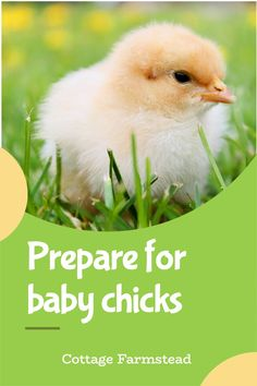 Get a FREE CHECKLIST of the five things to prepare before bringing baby chicks home. Find out what you need to keep chicks warm, fed, and happy. Chicken Toys, Chicken Treats, Chicken Lady, Pet Chickens, Raising Chickens, Chickens Backyard, Raising Farm Animals, Preparing For Baby, Baby Chicks