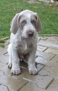 Slovakian Rough Haired Pointer- descendant of the Weimaraner, German Wirehaired Pointer