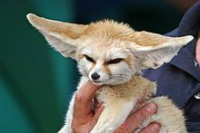 """""""A light brown fox is held in one hand of a person. It's large ears are sticking out horizontally."""" fennec fox, one of two foxes in the US that can be kept as a pet along with the silver fox"""