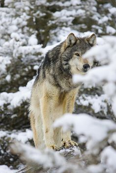 Gray Wolf (Canus lupus), Captive, Montana - ☀by Samuel Maglione*.Now that savage attacks that have begun since the wolf has lost federal protections, these will be some of the last photos of these wonderful creatures. Wolf Spirit, My Spirit Animal, My Animal, Funny Animal, Beautiful Creatures, Animals Beautiful, Cute Animals, Wild Animals, Baby Animals
