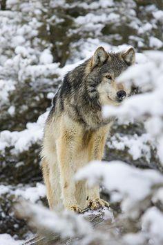 c...wolf