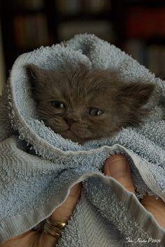 Selkirk Rex Kitten - Hokuspokus