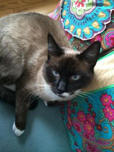 Albert is an adoptable Siamese Cat in Westwood, NJ Everyone falls in love with Albert!  This super-handsome Snowshoe Siamese was found wandering t ... ...Read more about me on @Petfinder.com.com