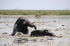 Young bull elephants at play Chobe National Park, National Parks, Bull Elephant, Luxury Tents, Tent Camping, Wild Animals, Elephants, Wilderness, Safari