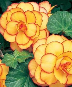 Begonia 'Picotee Yellow-Red': height: light: part to full shade blooms in: . Begonia 'Picotee Yellow-Red': height: light: part to full shade blooms in: June - September spacing 3 bulbs per Exotic Flowers, Amazing Flowers, Yellow Flowers, Beautiful Flowers, Beautiful Gorgeous, Beautiful Artwork, Unique Flowers, Beautiful Pictures, Different Flowers