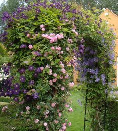 New Dawn rose w/Etoile Violette and other clematis. Classic planting companions.  From Margaret Roach's website: Away to Garden.