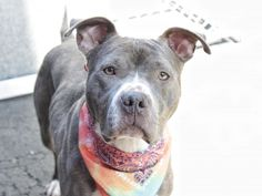 Manhattan Center MILLIE – A1066882 FEMALE, GRAY / WHITE, PIT BULL MIX, 1 yr STRAY – STRAY WAIT, NO HOLD Reason STRAY Intake condition EXAM REQ Intake Date 03/06/2016, From NY 11208, DueOut Date 03/09/2016,