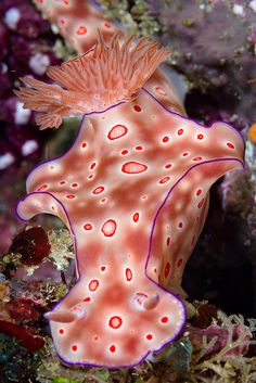 Ceratosoma Trilobatum nudibranch - photo by Ludovic, via Flickr; at Minahasa Utara, North Sulawesi, Indonesia