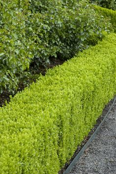 Dwarf English Boxwood - Slow growing 1 to 2 ft. tall and wide.