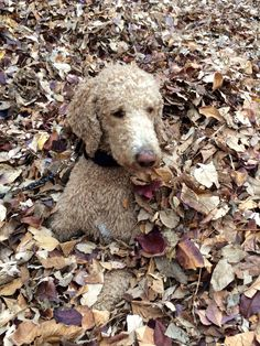 Oliver the standard poodle in the leaves See daily videos on youtube :) The Frey Life