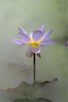 The 74 best lotus eaters images on pinterest lotus flower water beautiful flowers beautiful pictures lotus flower flower art red roses mightylinksfo
