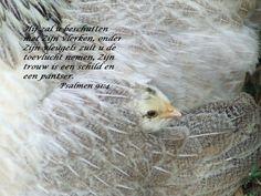 Hij zal u beschutten met Zijn vlerken, onder Zijn vleugels zult u de toevlucht nemen, Zijn trouw is een schild en een pantser.   Psalmen 91:4