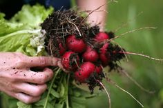 Summer Vegetable Harvest Tips