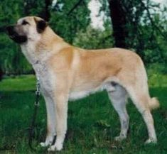My Harley might have a little Anatolian Shepherd in him...