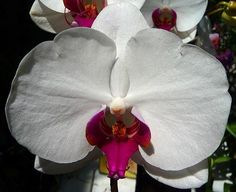 Phalanopsis Orchid - love this! Would be great in bouquet, and possibly in small amount in hair?