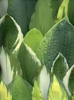 valscrapbook: 44002 Hosta by horticultural art...