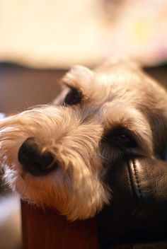 There's nothing ike a Schnauzer face!