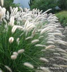 Plants in the Pennisetum genus embody the term ornamental grass. The genus contains grasses with vibrant foliage, bottlebrush plumes, and elegant shapes. Landscaping Plants, Garden Plants, Landscape Design, Garden Design, Fountain Grass, White Gardens, Ornamental Grasses, Dream Garden, Herb Garden