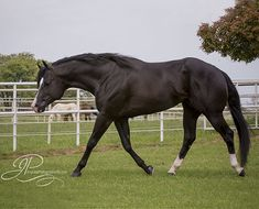 By Horsemen For Horsemen - Nite Moves Horses And Dogs, Wild Horses, Show Horses, Most Beautiful Animals, Beautiful Horses, American Quarter Horse, Quarter Horses, Black Horses, Gray Horse