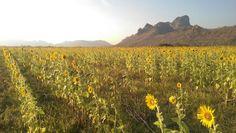 Yellow field~