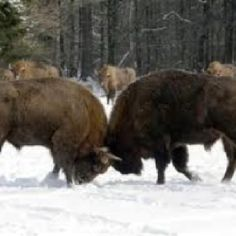 fighting bison, Yellowstone National Park, Wyoming