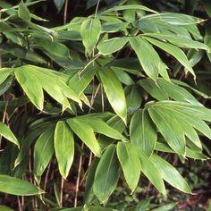 Bambou Sasa palmata