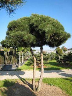 Pinus pinea pinie nicht winterfest aber100 frosthart - Kiefer baum kaufen ...