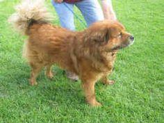 BEAR is an adoptable Chow Chow Dog in Camarillo, CA.  ...