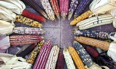 7 organic seed companies worth checking out, gardening, A Picture of organic corn from Native Seeds based out of Tucson Arizona They are devoted to saving wild and ancient seed from the southwest