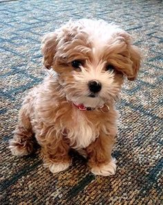 Maltipoo. I would run out of treats in one day if I had a dog this cute!