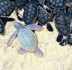 Albino baby turtle                                                                                                                                                                                 More