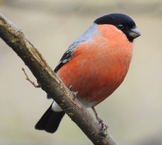 Bullfinch by roundy8 on Flickr.