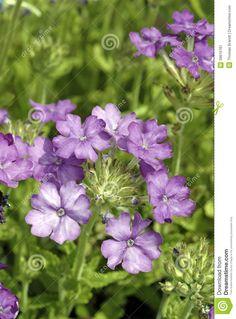 Verbena Verbena, Green Backgrounds, Pink Roses, Bloom, Herbs, Flowers, Plants, Herb, Plant